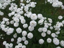 ACHILLEA Ptarmica. 'The Pearl Superior' x 50 seeds. Perennial. Gift in store