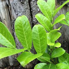 Cherry Laurel Plants x 3 Potted - prunus laurocerasus. 120CM high. FREE DELIVERY