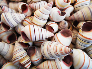"12 Real Haitian Tree Snail Shells (Striped Candy Snail) 1-2"" Beach Crafts Ocean"