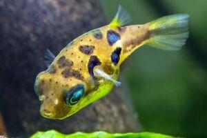Dwarf Pea Puffer Live Tropical Freshwater Aquarium Fish Tank - Puffer Fish - Fry