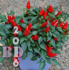 CHILI PEPPER ORNAMENTAL PRAIRIE FIRE Capsicum Annuum 200 Seeds - Original Pack_2