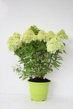 Gemäßigte Halbschatten Gewurzelte Pflanzen, Bäume & Sträucher mit Mittel