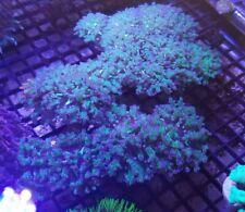 Purple Tip Frogspawn Coral Nice Single Head Frag