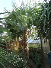 Trachycarpus nova seeds x30