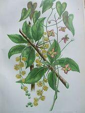 Antica Stampa datati C1860 comune Barberry Alpine barrenwort Anne PRATT Fiori