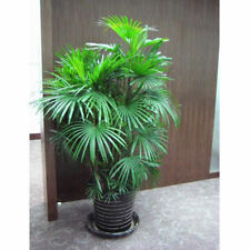Chrysalidocarpus Lutescens Palm Seeds Home Decoration Areca Indoor Potted 5Pcs