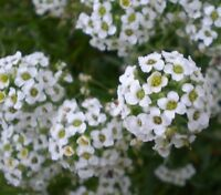 Blumenbeet i! DUFT-STEINRICH !i winterharte Garten Saatgut Staude Duft Blume
