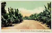 Palm Drive Piedmont Park California Undivided Back Postcard CA 1900's
