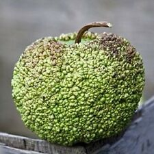 Rare ancient French heirloom - *Bule gourd* - (Lagenaria siceraria)  -   5 seeds