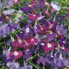 50 Multi Pelleted Seeds Lobelia Riviera Springtime Blues Mix FLOWER SEEDS