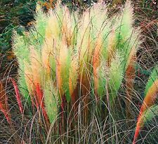 Multi Color Pampas Grass Cortaderia Selloana Flower 1000 SEEDS Super Sale