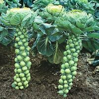 Brussels Sprout, Long Island Improved Heirloom Fresh Non GMO Seeds