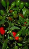 50 Seeds Chile Del monte piquin tepin big size Chili Pepper from Texas Very Hot