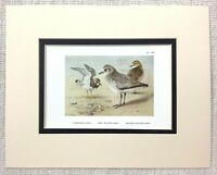1929 Antico Uccello Stampa Turnstone Golden Plover Uccelli Archibald Thorburn
