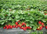 *NEW*  STRAWBERRY * GIANT* , LARGEST FRUIT , EVERBEARING 105 SEEDS