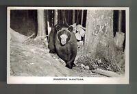 Mint Black Bear Winnipeg Manitoba Canada Vintage Real Photo Postcard
