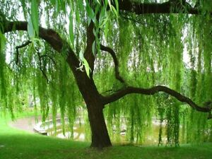 Weeping Willow cuttings unrooted (10)