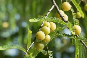 Amlabaum Stachelbeere älteste bekannte Pflanze aus dem asiatischen Raum Heilend.