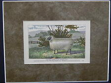 "Sheep c1890 Matted Ready To Frame S2 #06 Oxford Down Ram ""Freeland"""