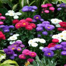 30 PCS ASTER Mix Color Callistephus Chinensis Flowers Seeds Fragrant For Garden