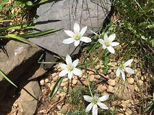 5 Bulbs Star of Bethlehem winter hardy bulb plant Spring Planting