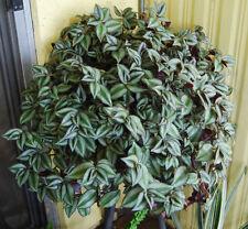 Violet Hill Tradescantia Zebrina Trailing Wandering Jew Houseplant 3 L Clippings
