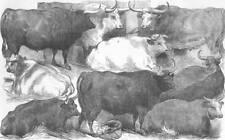 COWS. Hereford ox & cow; white shorthorn; Devon, antique print, 1856