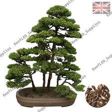 Rare Sacred Japanese Cedar Semilla Bonsai Tree Plant-10 Viable Seeds, UK Supply