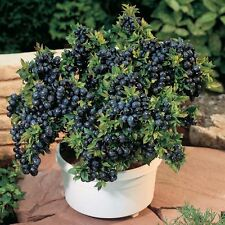 Blueberry - 'Top Hat' - Vaccinium (Northern Low Bush)