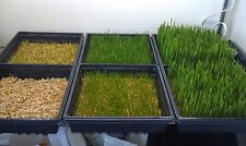 Sprouting Wheatgrass,HARD RED SPRING ,ORGANIC 100 Non-gmo Seed Combined Shipping