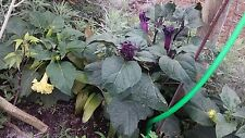 "angel trumpet datura 2 pots live plant in a 3.5"" pot double  purple 5"" tall"