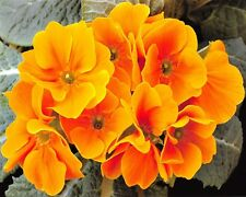 Stunning 10 x 8 Photo Print, PRIMULA on 230gsm Archival Matte 39A