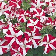 200 Pelleted Petunia Seeds Ultra Red Star Seeds Bulk Seeds