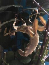 Giant Prickly Stick Insect (Macleay's Spectre) x 5 ova/eggs Female Only