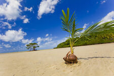 1 Coconut seed Palm tree-Dwarf (Cocos Nucifera) Fresh and viable Harvest in 2yrs