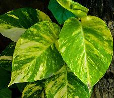Green & Gold Epipremnum indoor trailing plant in 165mm hanging pot