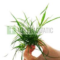 Juncus Repens Bunch Creeping Rush Freshwater Live Aquarium Plant Betta Grass Ada