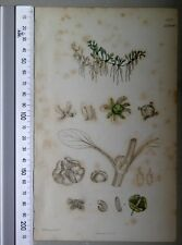 English Botany, Smith, Sowerby, handcoloured copperplate, 578*, 3.Edition,1850.