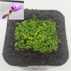 "Utricularia dichotoma / 1"" plug"