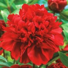 KARL ROSENFIELD RED PEONY - 2 Large Bare Root Tubers- HARDY PERENNIAL PLANTS