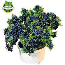 200 Top Hat Blueberry bush Seeds Bonsai Flower Plant Seed, Rich in Anthocyanin