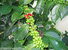20 lbs Colombian Supremo Valle de Cauca Estate Raw Unroasted Green Coffee Beans