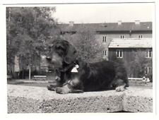 DACKEL / SAUSAGE DOG / TECKEL / DACHSHUND / BASSET * Vintage 1950s Amateur Photo