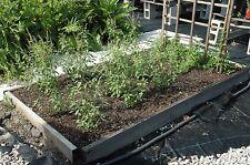Tulsi, Rama Tulsi, Ocimum Sanctum, Organic, 30 seeds Per pack, Holy Basil