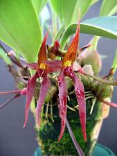 Bulbophyllum levanae - Species - Bs Div