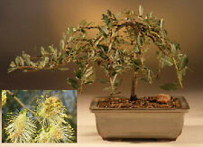 Red Flame Bonsai Willow Tree - Thick Trunk Tree Cutting - Amazing and Colorful L