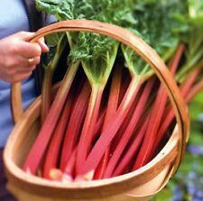 15 Heirloom Rhubarb Victoria Seeds Free Usa Shipping