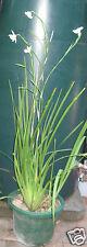 Dietes -Wild Iris plant in pot/ Ivanhoe, Vic
