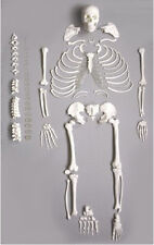 Human Anatomical Full Disarticulated Skeleton Life-size 170cm New
