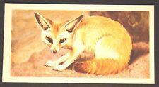 Fennec Fox   Desert Fox    Vintage Colour Card  # VGC